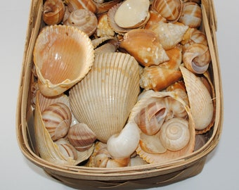 Seashell Assortment for Crafting, 2 pounds of assorted shells