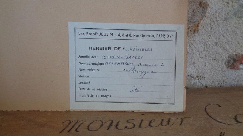 large real dried botanical specimen of Cow Wheat Melampyrum Arvense French herbarium