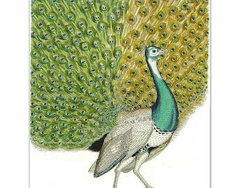 Mixed media Decorative art Animal painting drawing illustration portrait  print POSTER 8x10PEACOCK Portrait1-
