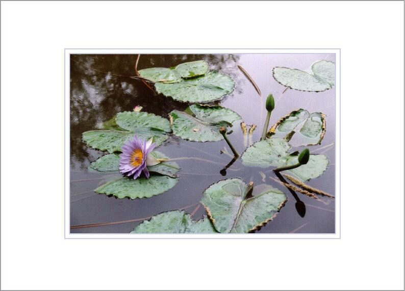 Waterlilies image 0