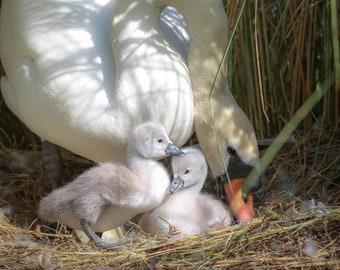 SWAN FAMILY | Mama Swan and Babies | 5x7 | Free Shipping