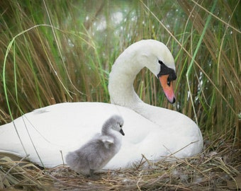 LOOK AT ME | Swan Photography | 5x7 | Free Shipping