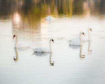 SWAN LAKE | Swan Photography | 5x7 | Free Shipping