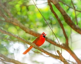 CARDINAL | Cardinal Photograph | 5x7 | Free Shipping