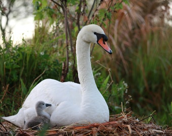 MAMA AND BABY | Swan Photography | 5x7 | Free Shipping