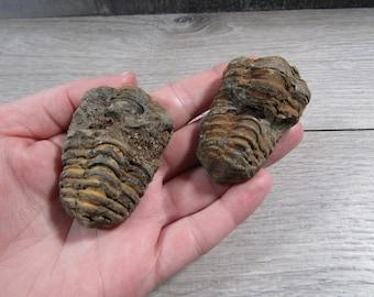 Calymene Trilobite Fossil U99