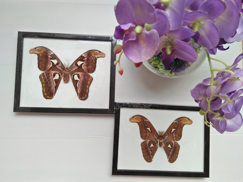 2 Real Giant Attacus Atlas Moth Female Male Framed Butterfly Art Display Large Insect Taxidermy Entomology Lepidoptera Bug Collection Rare