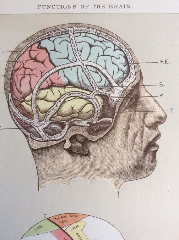 Antikes Anatomie Exlibris Print 1900 s Gehirn Funktion Kopf | Etsy