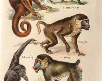 Antique 1909 MONKEY APE BABOON  Bookplate Chromolithograph Print