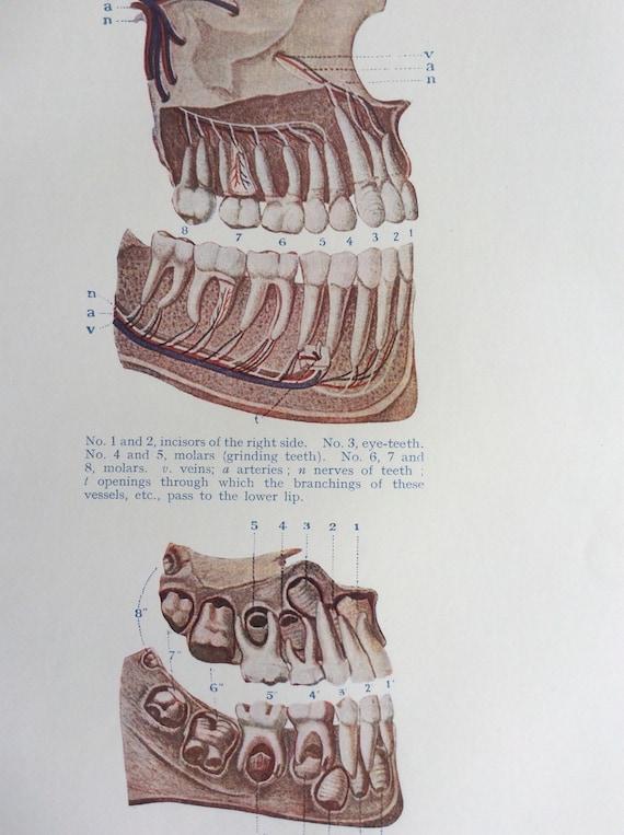 Original Vintage Human Anatomy Dissection 1924 Bookplate Print Etsy