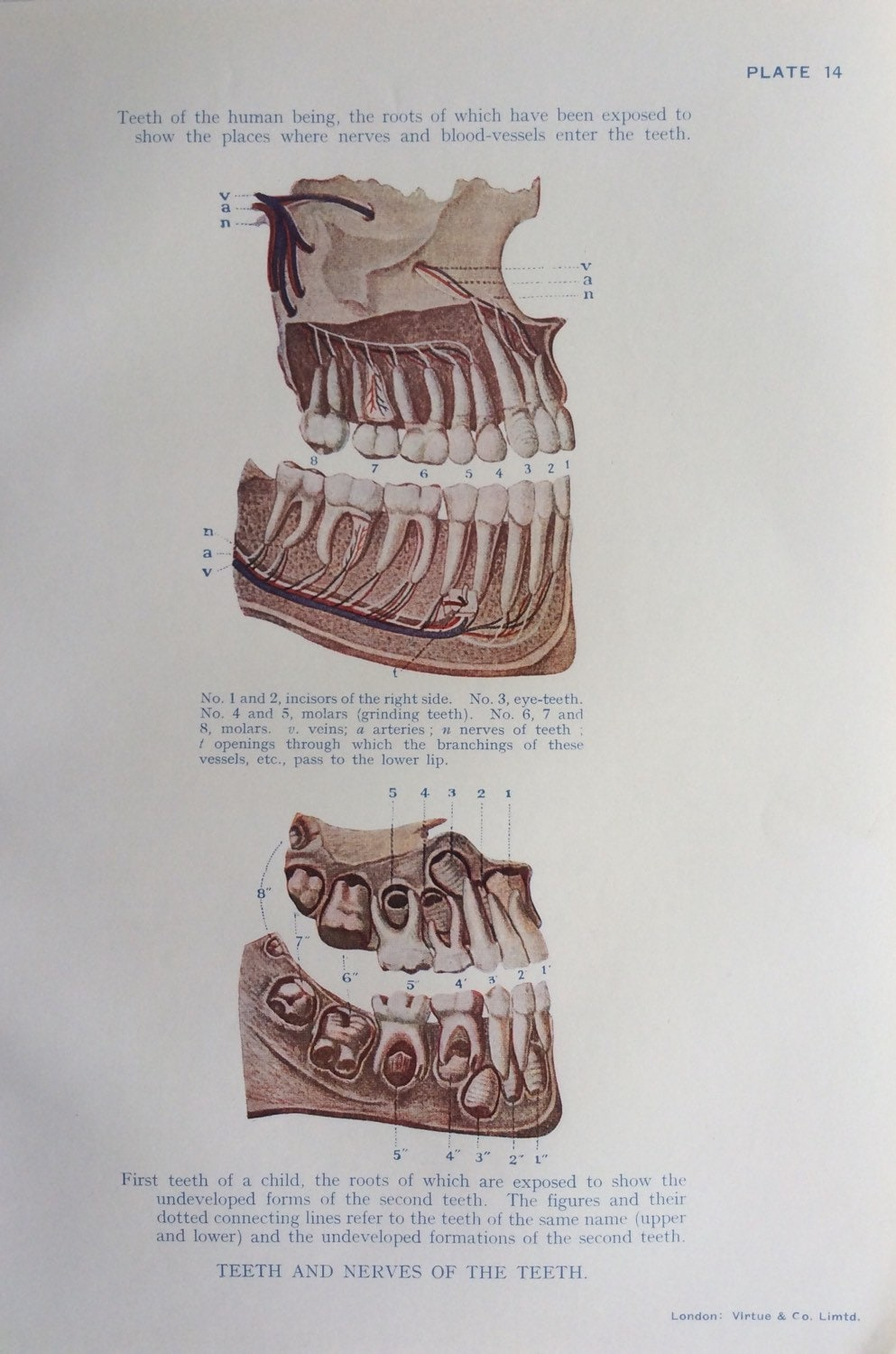 Original Vintage Human Anatomy Dissection 1924 Bookplate Print 1920s ...