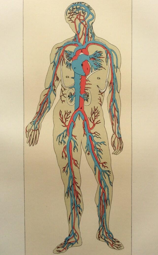Original Vintage anatomía humana Bookplate victoriana grabado | Etsy
