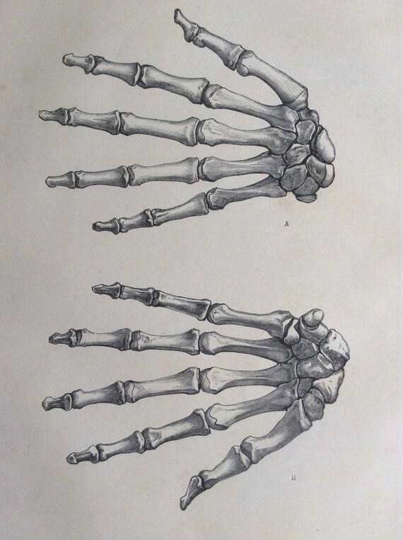 Antiguos de 1890 médico anatomía diagrama de los huesos de