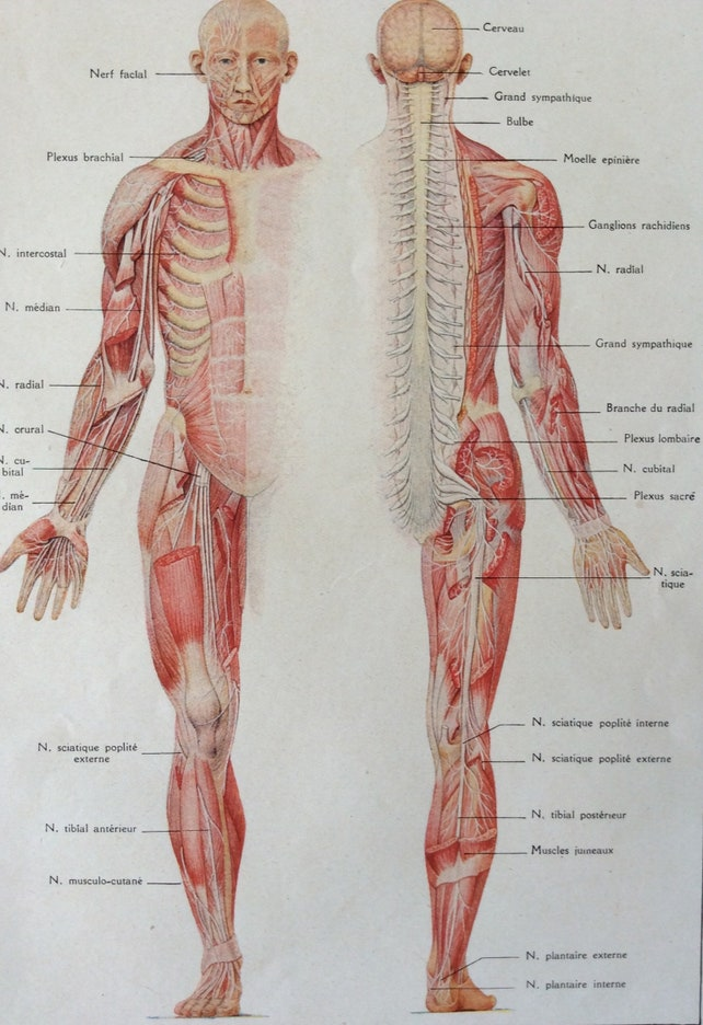1920s French Human Anatomy Dissection Bookplate Spinal Cord Etsy