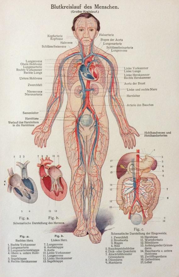 Vintage 1920s anatomía humana alemana sistema circulatorio | Etsy