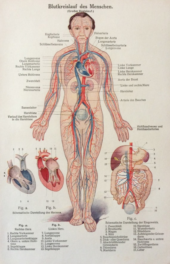 Vintage 1920s German Human Anatomy Circulatory System Etsy