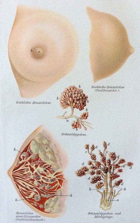 Vintage 1905 German BREAST MAMMARY Medical Anatomy Diagram   Etsy