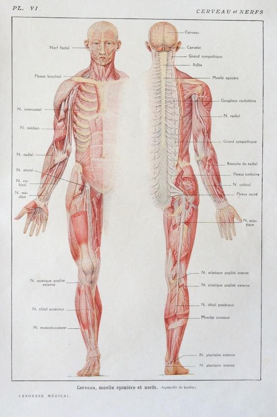 1920er Jahre Französisch menschlichen Anatomie ihrer Zerlegung | Etsy