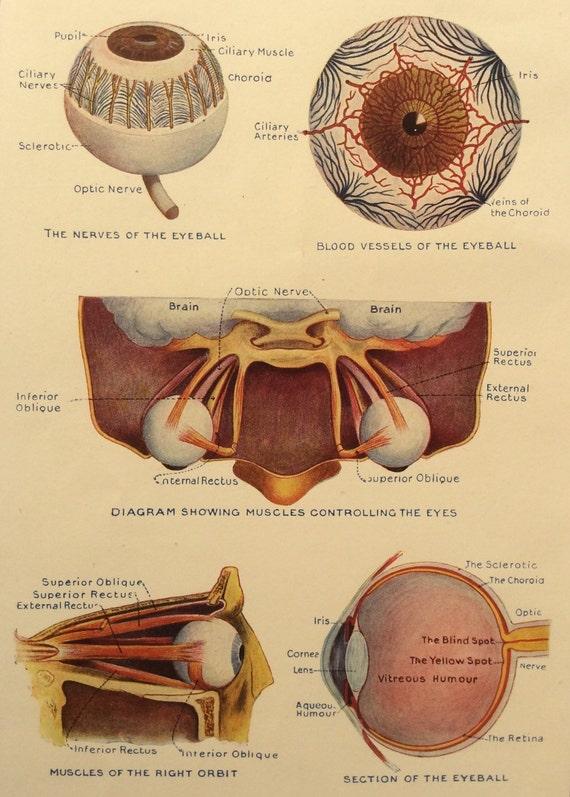 Vintage 1920s Print Human Anatomy Illustration Eye Optometry Etsy