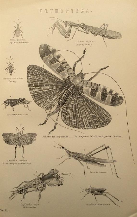 Antiguo grabado Bookplate Entomología insectos 1880s Victorian | Etsy