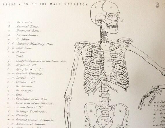 diagram of male skeleton antique engraving anatomy dissection skeleton bones bookplate etsy  antique engraving anatomy dissection
