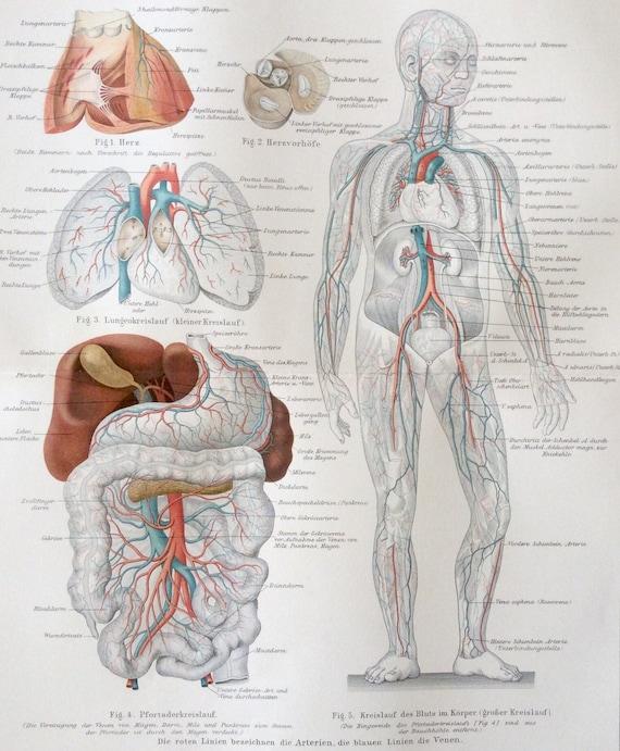 Antiguos de 1890 color alemán cromolitografía anatomía vasos   Etsy