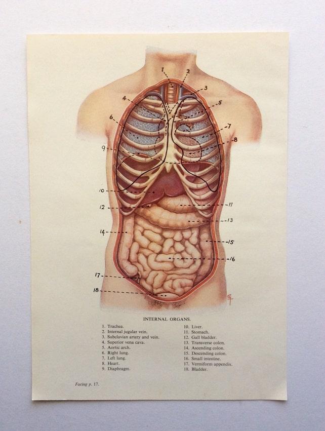 Original alte menschliche Anatomie Dissektion 1924 INNENORGANE | Etsy