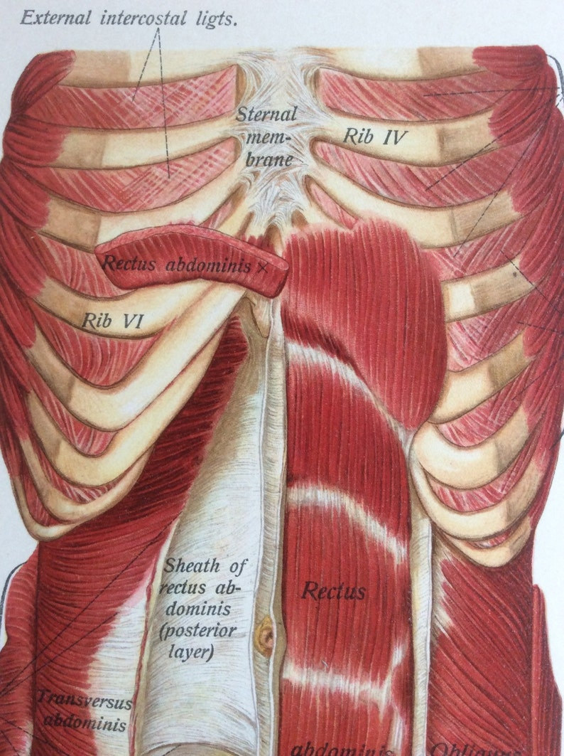 Antique 1897 Viennese Medical Bookplate Torso Muscles Organs Chromolithograph Medical Diagram