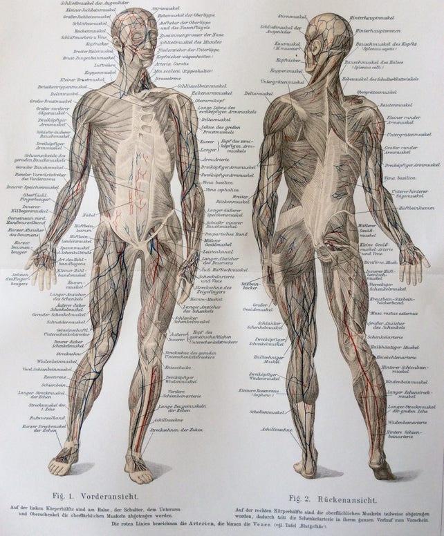 Antike 1890er Jahren menschliche Anatomie Muskeln deutschen | Etsy