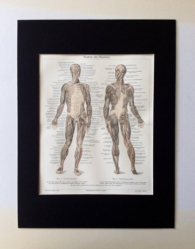 Antike 1890er Jahren menschliche Anatomie Muskeln deutschen   Etsy