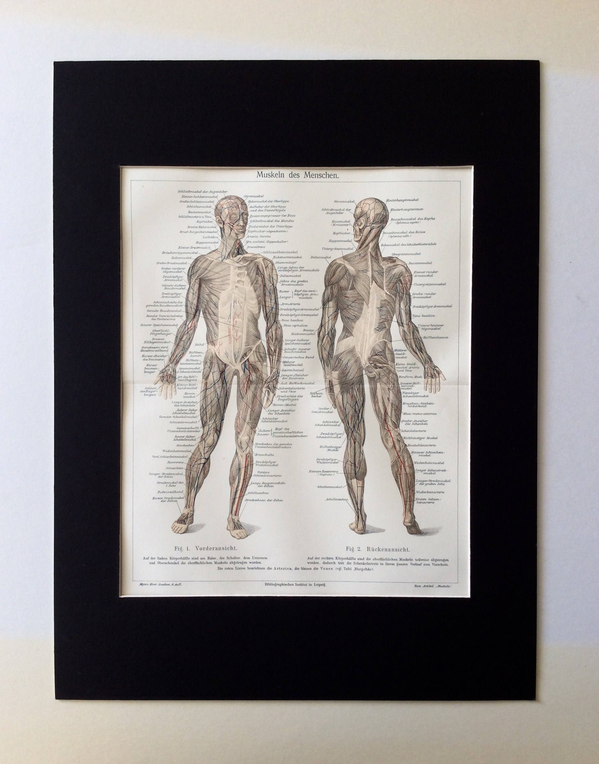 Antique 1890s HUMAN ANATOMY MUSCLES German Lithograph Print
