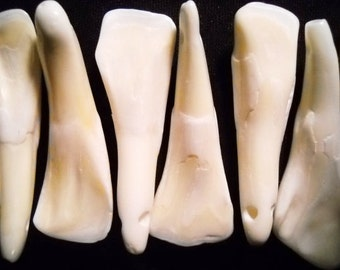 15 Real Bone Water Buffalo Teeth Taxidermy Genuine Tooth Bones Pendant