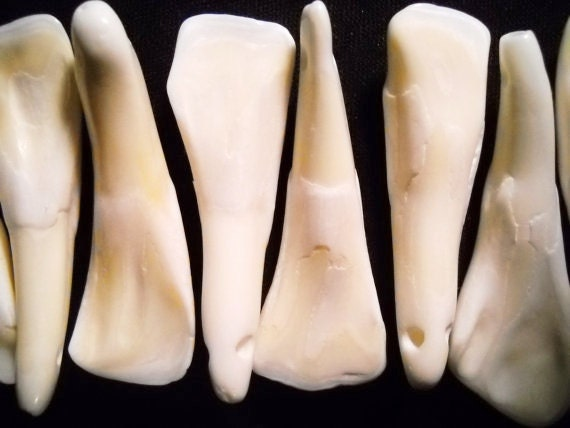 50 BUFFALO TEETH DRILLED TAXIDERMY BEADS JEWELRY CRAFTS NECKLACE PENDANTS TOOTH
