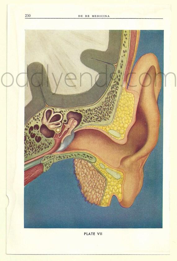 años 1930 oído humano disección Original anatomía científica | Etsy