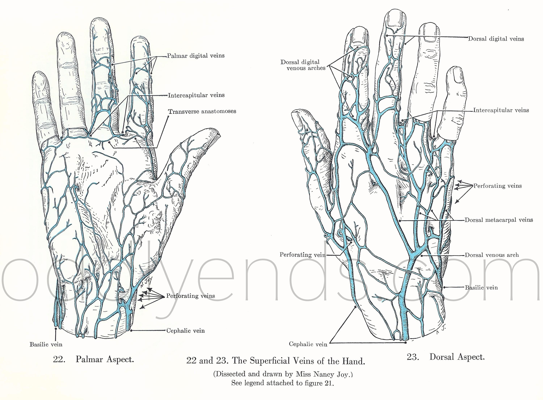 50er Jahre menschliche Venen der Hände Anatomie Original | Etsy