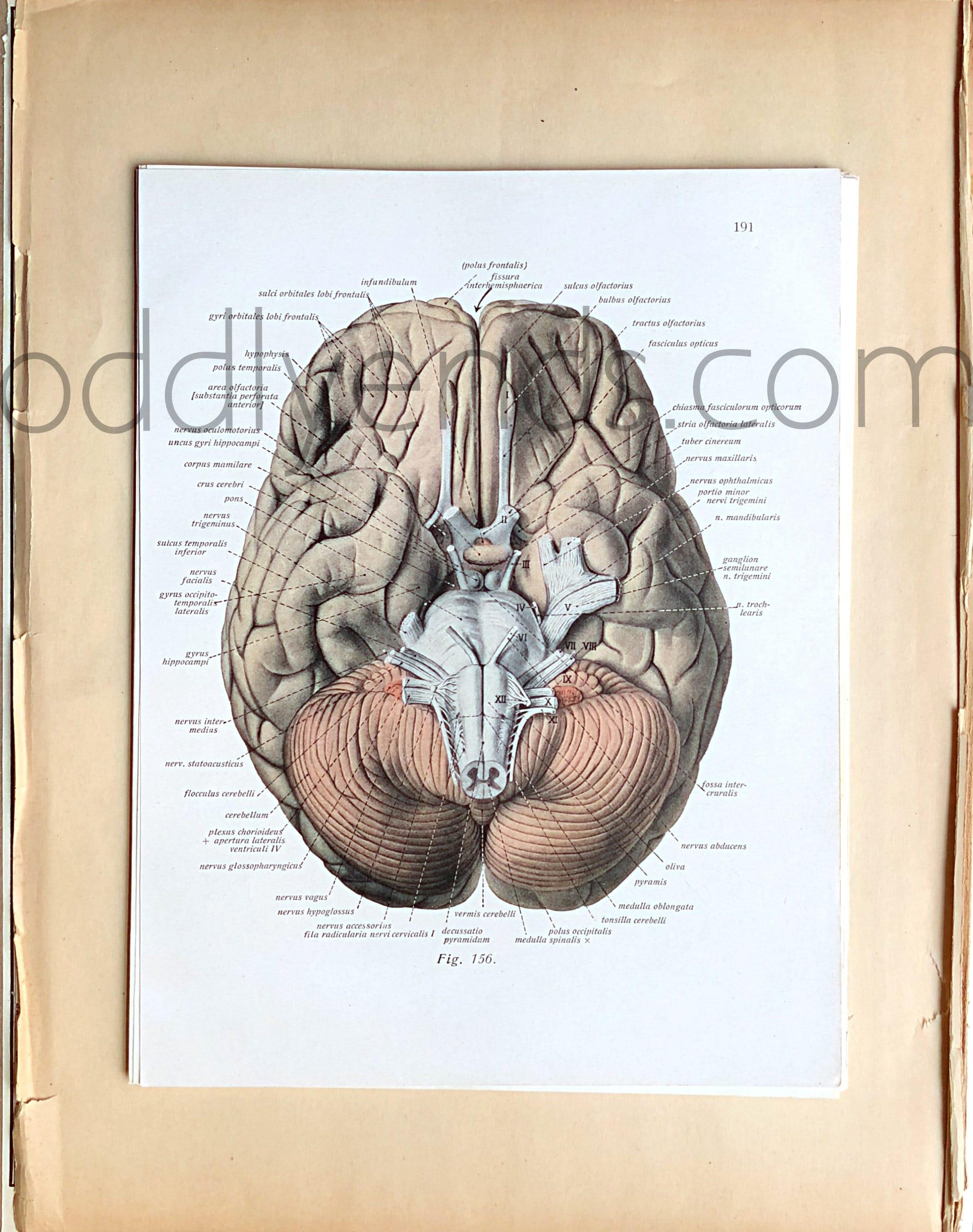 50er Jahre menschlichen Anatomie Original Vintage Wissenschaft | Etsy