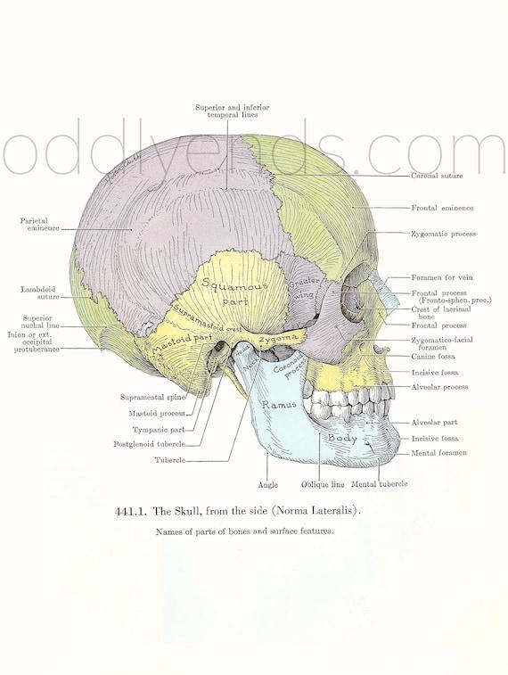 1940er Jahren Schädel Anatomie Original Vintage Print | Etsy