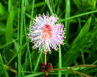 Sensitivity Vibrational Remedy: Flower Essence of Mimosa Grass - Big Island, Hawaii - Indicated For Balance, Bio Rythms, Sleep + Sensitivity