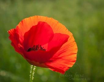 Red Poppy Flower Photography, Vibrant Scarlet Crimson Bloom, Nature Photo, Flowers in Field Meadow, Orange Red & Deep Green Wildflower Print