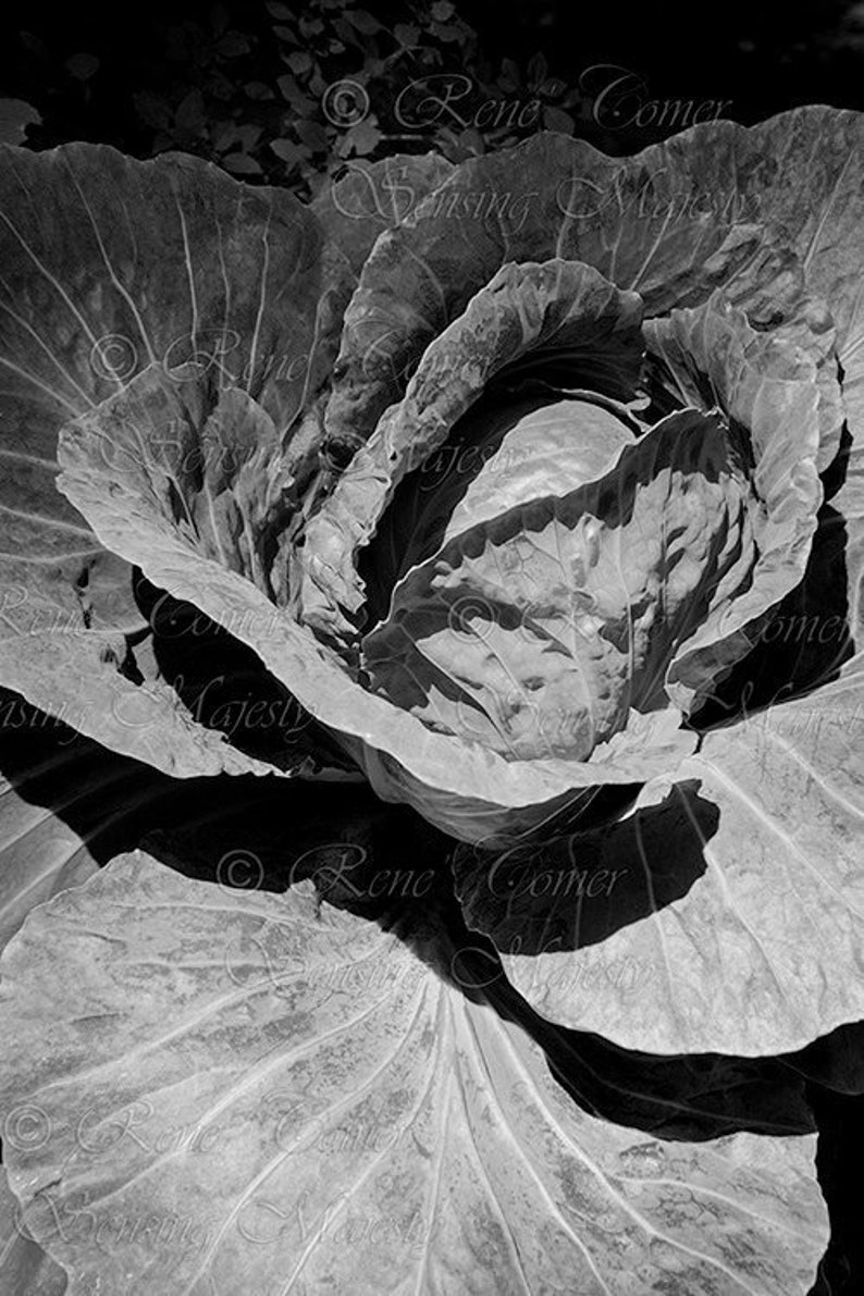 Food photography print black and white cabbage wall art prints monochrome kitchen decor