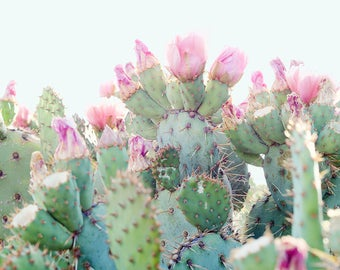 Pink Flowering Cactus Fine Art Photograph - Prickly Pear with Pink Flowers