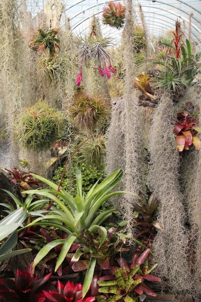 Tillandsia aeranthos Bronze-1 Plant-Airplant