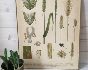 "Swedish Botanical ""Vete"""