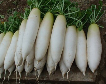 Organic 500 Radish Seeds Chinese Green Luobo Heat Tolerant Vegetable Edible Perennial Easy to Grow F14