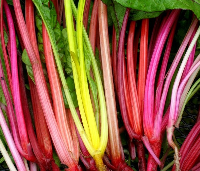 20pcs Full Red Beta Vulgaris  seeds Green Vegetable