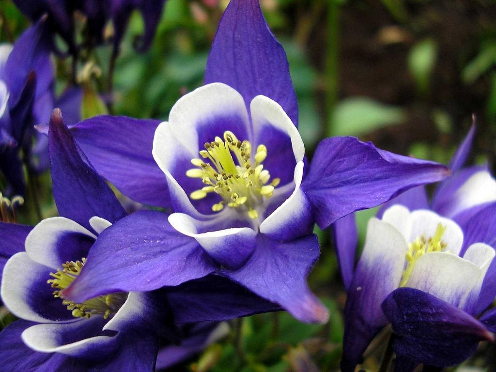 Heirloom 300 seeds columbine giant star aquilegia christy blue etsy zoom izmirmasajfo