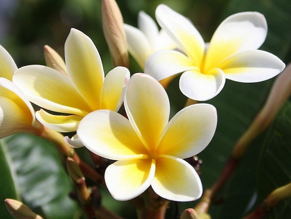 Heirloom 5 Seeds Plumeria alba Yellow White Flower Garden Frangipani Small  Tree Shrub T026