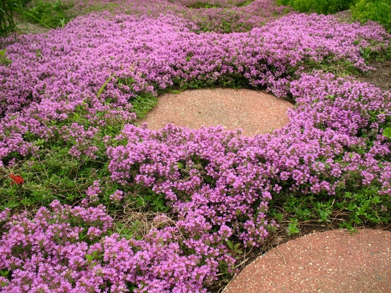 Heirloom 500 seeds herb thymus serpyllum creeping thyme ground cover heirloom 500 seeds herb thymus serpyllum creeping thyme ground cover pink purple chintz herbs garden flower bulk seeds s114 from seedsshop on etsy studio mightylinksfo