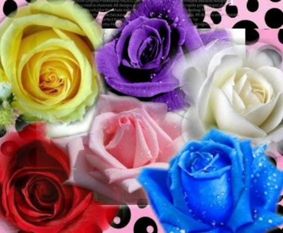60 seeds 6 colors red purple pink blue white yellow rose etsy image 0 mightylinksfo