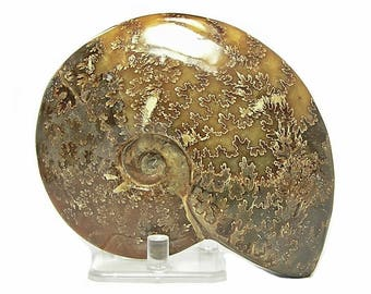 Fossil BIG Ammonite Golden Yellow Petrified Chambered Mollusk Organic Stone Artifact Prehistoric Snail from the Primordial Sea of Madagascar